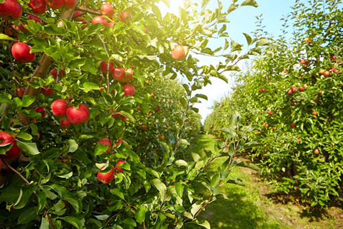 苹果树.jpg